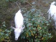 Продам  коз в количестве 3 шт,  Уречье 35 км от Слуцка