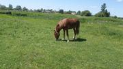 Куплю Лошадь,  Жеребё