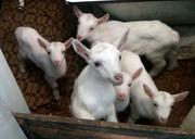 Продам козла зааненского,  козлят и молоко